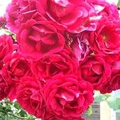 Róża pnąca :)