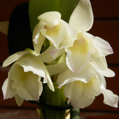 Storczyk-Dendrobium nobile