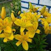 Witam słonecznymi liliami ,w słoneczny czwartek :)