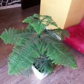 Arukaria 2 lata temu kupiony w biedronce. pięknie rośnie. :)