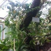 Hoya cumingiana