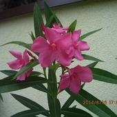 Nowy kolorek oleandra - słodziutki róż.