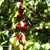 Owoce Derenia