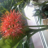 krasnokwiat katarzyny  ;-)