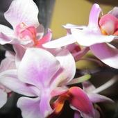 różowo-fioletowy storczyk