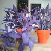 Trzykrotka purpurowa