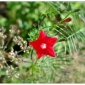Czerwona gwiazdka