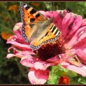 Motyli rwetes na cynii  u szwagierki.