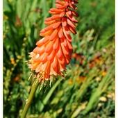 Orange Trytoma