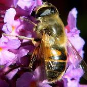Pszczółki też ją lubią