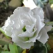 różanecznik :)