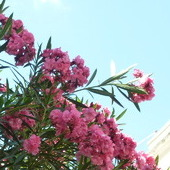 Wyjątkowo ukwiecony oleander
