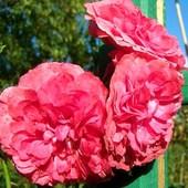 Róża pnąca.