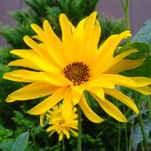 Słonecznik szorstki