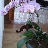 Storczyk Phalaenopsis