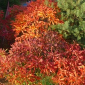 Sumak w barwach jesieni.