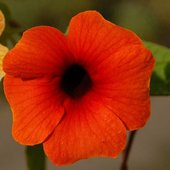 Tunbergia, kwiat