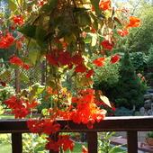 Begonia na słoneczny dzień