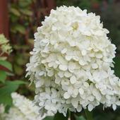 Biała Hortensja