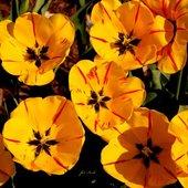 Dywanik tulipanowy