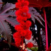 Rącznik kasztanowiec czerwony