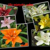 Lilie azjatyckie pełne