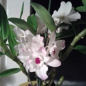 Mała niespodzianka - Dendrobium nobile