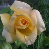 Róża czepna