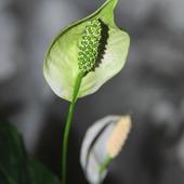 Skrzydłokwiat
