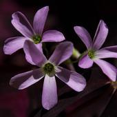 Trzy kwiatki