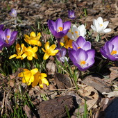 Wiosenne Krokusy
