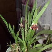 Kwitnąca Cambria
