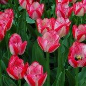 Kielichy tulipanowe