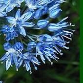 czosnek błękitny ..............