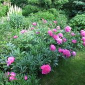 pełna różowa