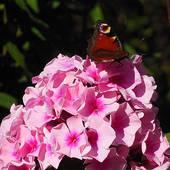 różowy floks ..............