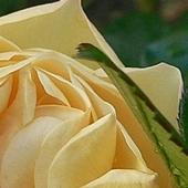 Różyczka z gościem...