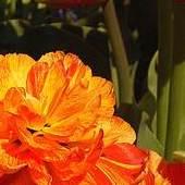 symbol wiosny ............