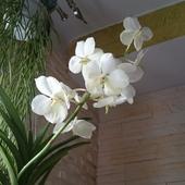 Orchidea Storczyk, Vanda