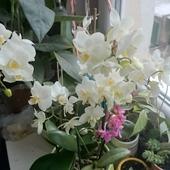 Orchidea Storczyk,