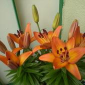 Moje kwitące lilie