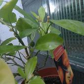 Mini owoc Kalamondin