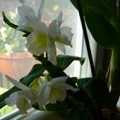 Kochani dla was  kwiaty dendrobium,pięknie kwitną:).