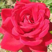 Różyczka na piątek