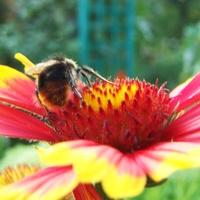 Pszczoła czy osa ?