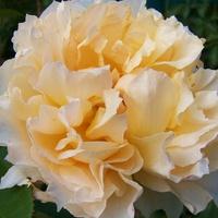 Róża herbaciana.