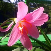 Różowy lampionik
