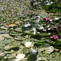 Świat wodnych kwiatów.