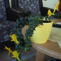 Kolumnea o żółtych kwiatach.