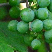 pierwsze winogrona